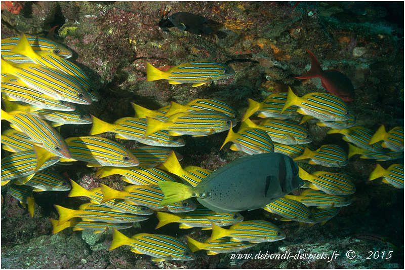 Le vivaneau bleu et doré, endémique de l'est du Pacifique forme parfois grandes concentrations diurnes sur les récifs rocheux .