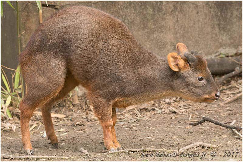 Avec ses pattes courtes et solides, sa petite taille et sa forme arrondie, le pudu est adapté à la vie dans la forêt dense où il peut se faufiler entre les arbres et dans les fourrés.