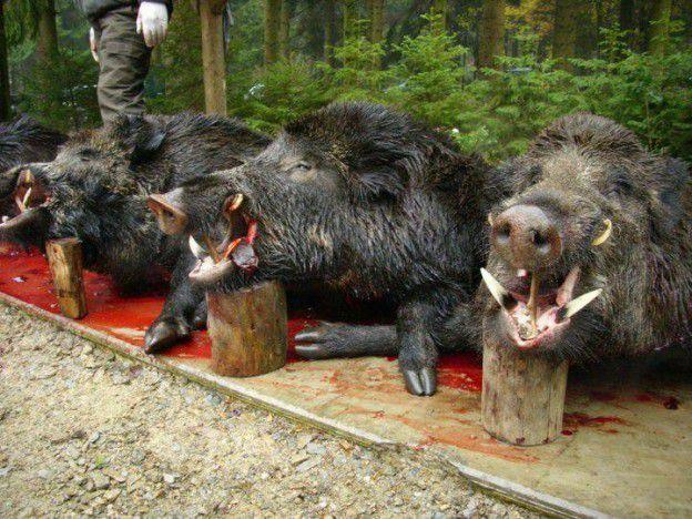 Pires que les chasseurs : ceux qui leur facilitent le boulot !