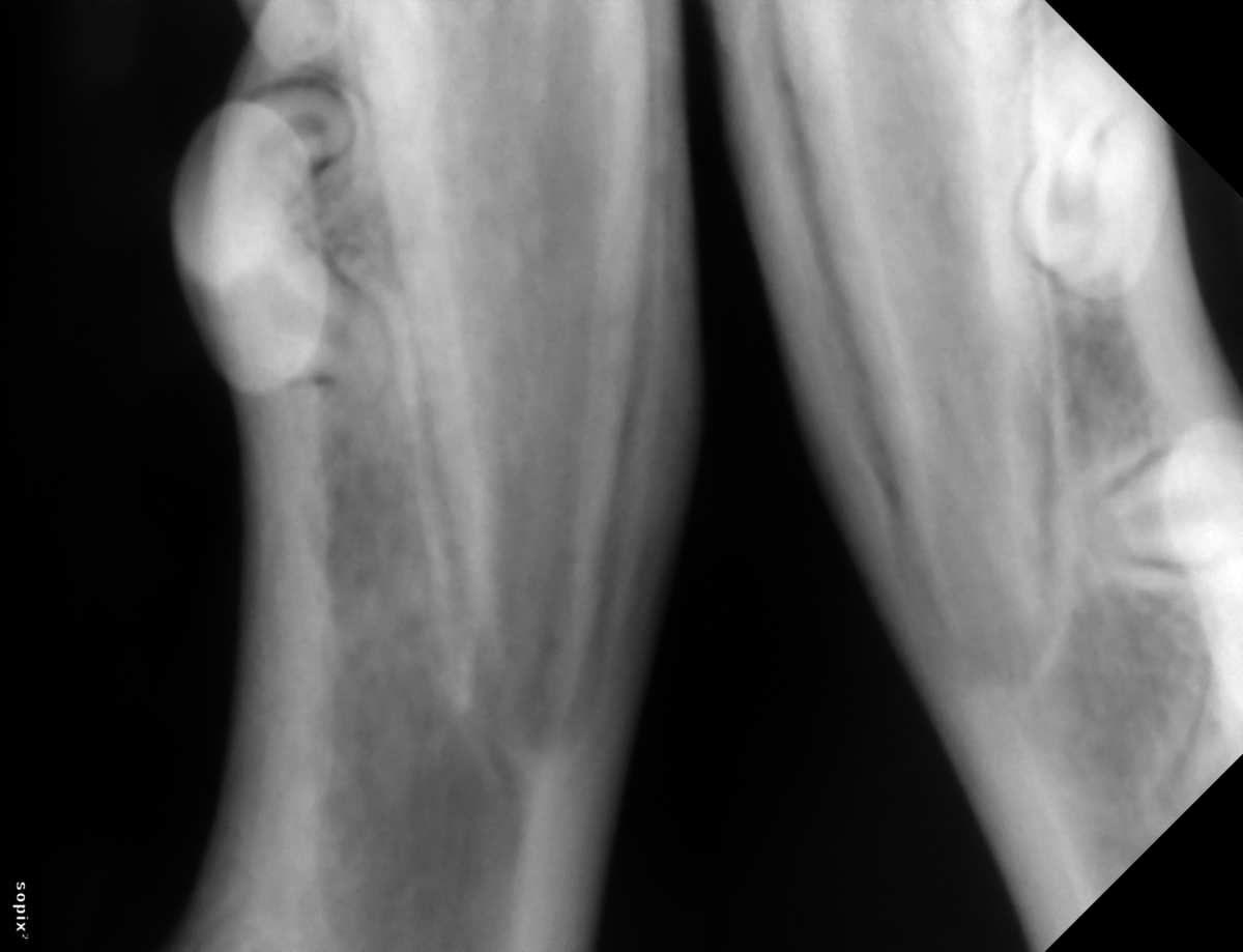 radiographie des apex racinaires des canines mandibulaires : les apex sont ouverts