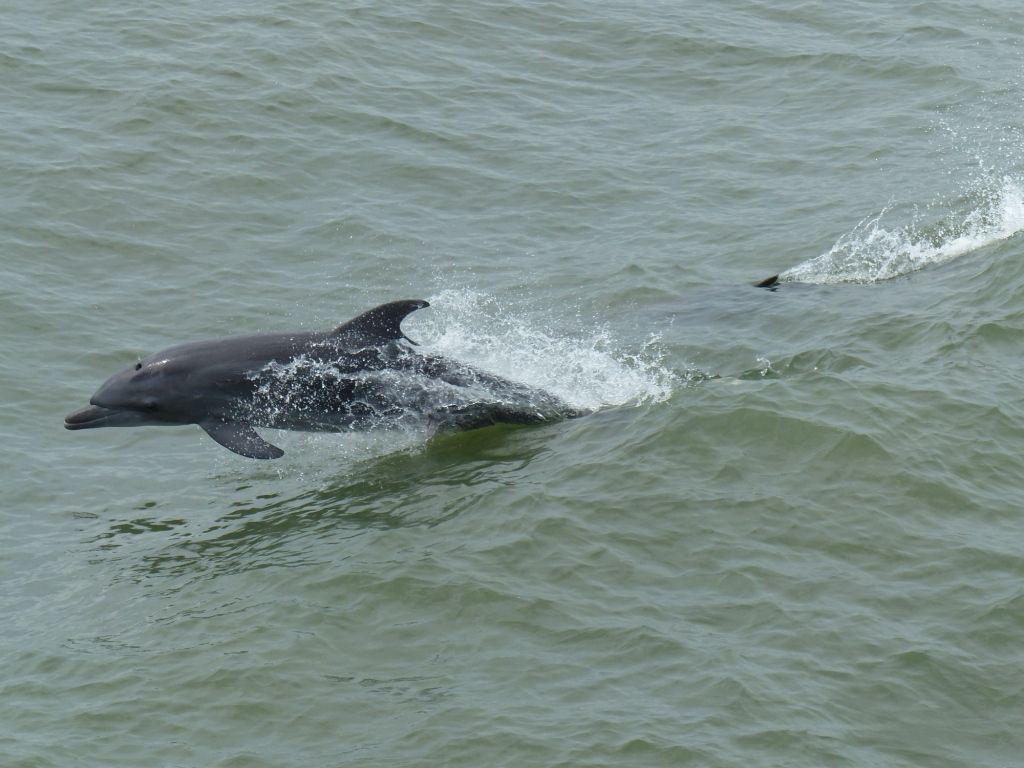 Les dauphins ont accompagné notre croisière quelque temps...