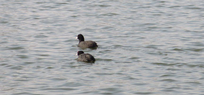 Oies, canards,  foulques...