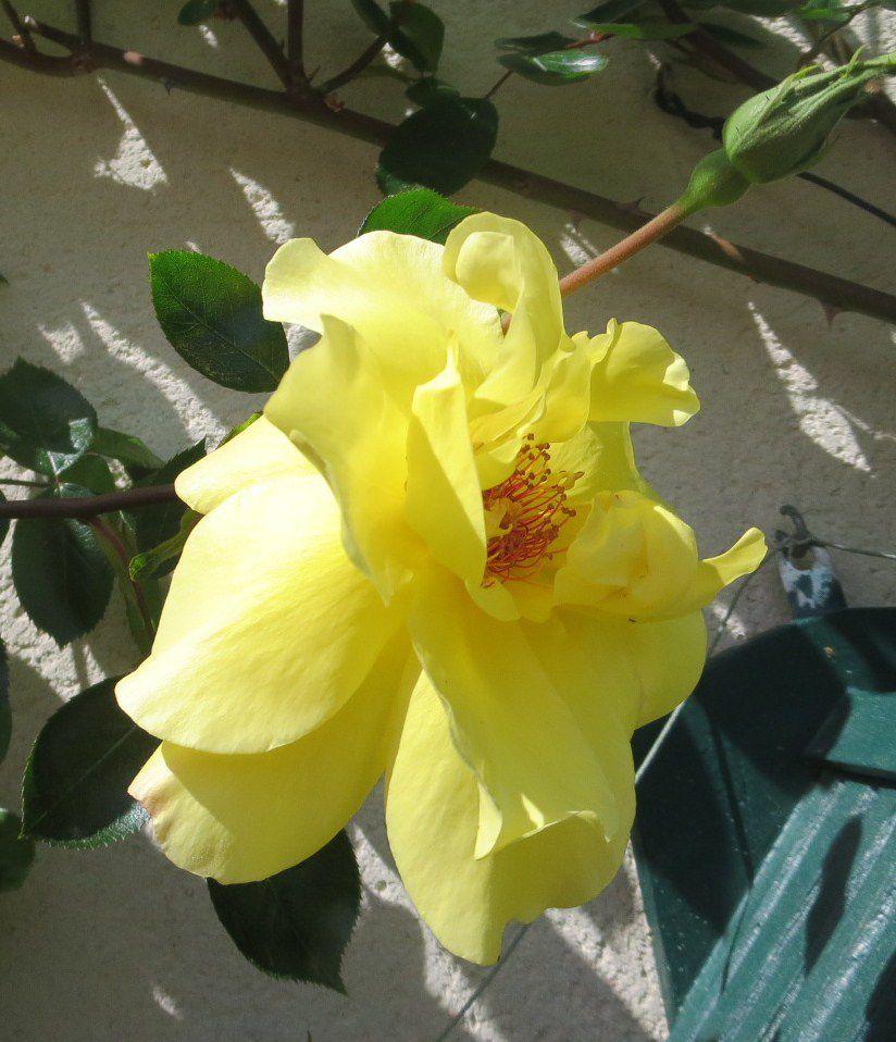 La courte vie de la première rose de l'année se résume en six images.....