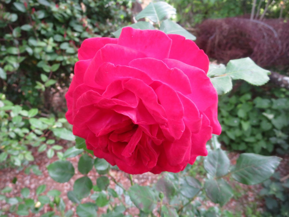 """17 mai ... difficile de faire un choix parmi tant de belles qui envahissent le jardin... je ne peux plus les compter mon mari parle """"d'orgie de roses"""" !!!"""