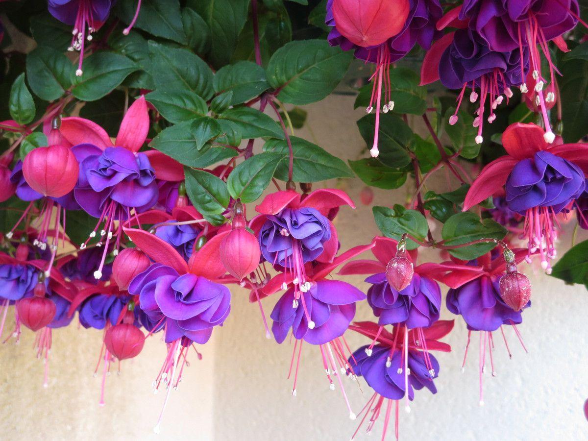 Les  couleurs, mauve, rose et violet sont au mieux en juillet...