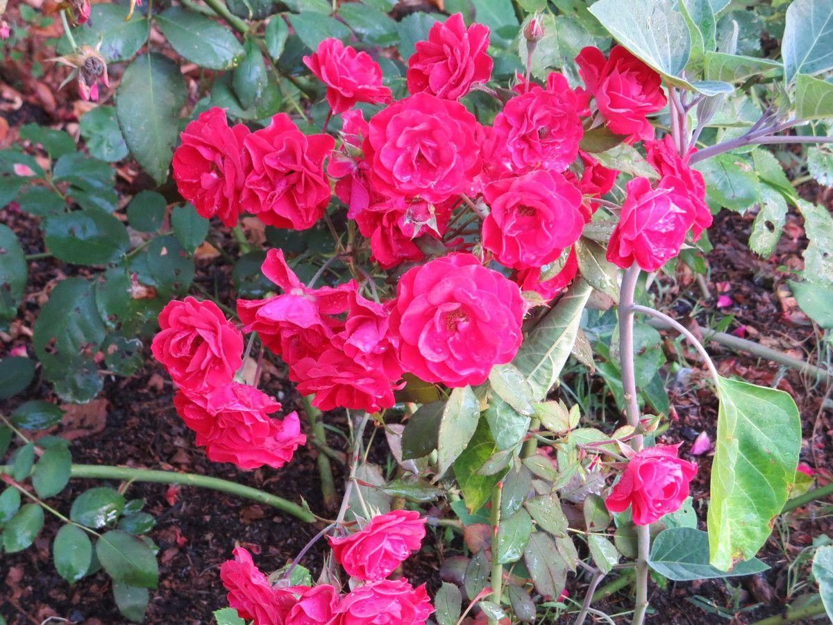 un peu malmenées, par une nuit mouvementée&#x3B; la clématite est toute déshabillée et les roses ont la tête lourde ou chiffonnée comme les jours de grande beuverie ....!