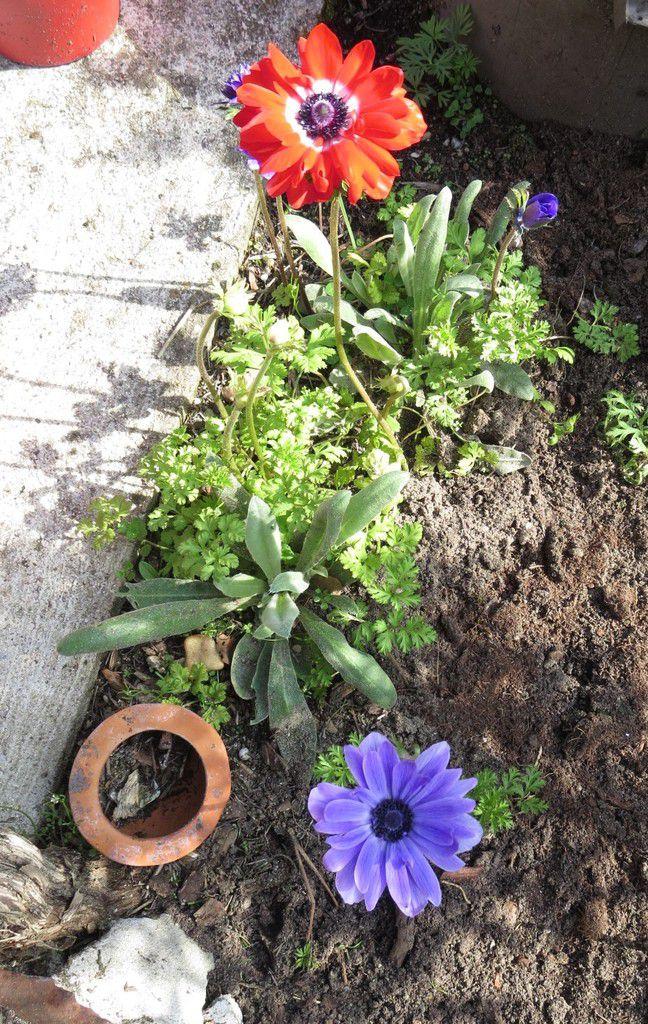 """Petit bouquet d'anémones sur la terrasse, presque caché derrière le romarin qui nourrit déjà des """"bourdonnants"""""""
