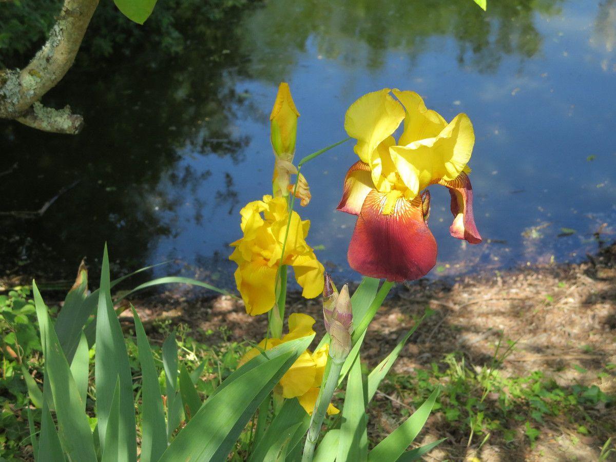 Vous n'aurez pas fait dix pas, que les Iris vous salueront à l'ombre des Sumac. Bébé tortue (qu'on  pensait perdue), bronze tranquillement, pendant  que Mme Turtle se prélasse sur son tronc/hamac &#x3B; Méfiez vous des oies! une d'entre elles, est devenue un peu caractérielle.