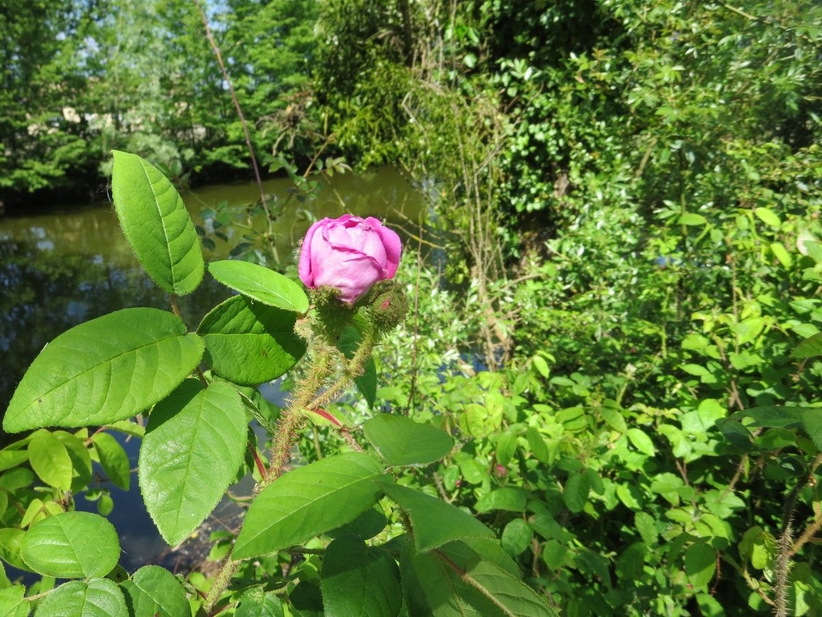 Faites le tour de l'étang, ou suivez le chemin, et c'est la ronde des roses...Toutes ne sont pas encore écloses, mais c'est déjà un vrai bonheur