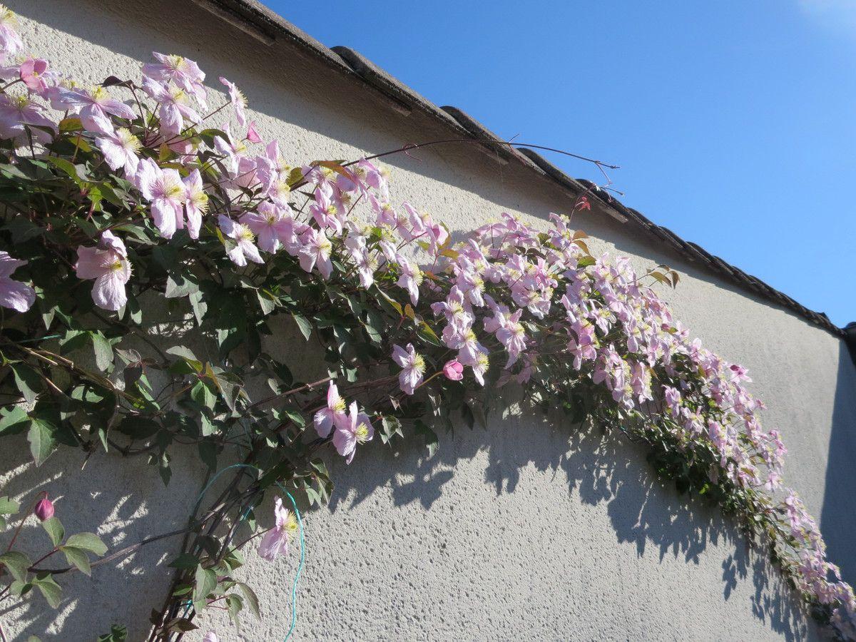 La terrasse nous retient , roses et clématites.... des fleurs à foison