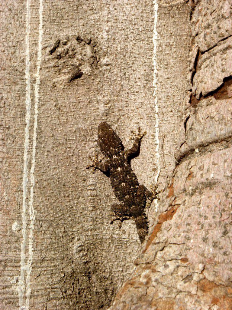Tarente de Maurétanie au parc de Maria Luisa sur un arbre caoutchouc