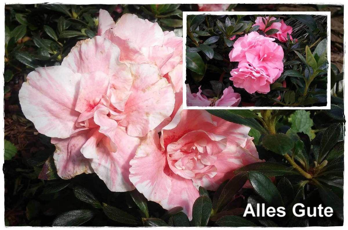 "(1379) tägliche Fotos – daily photo 3.10.2016 – Postkarte ""Alles Gute"" (mit Azallee, rosa)"