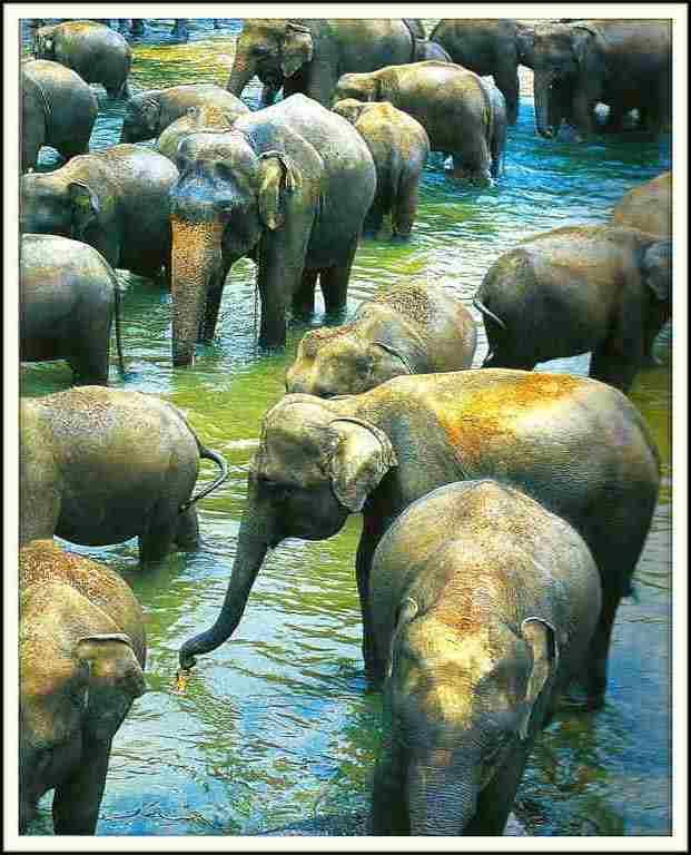 Eléphants - Sri Lanka