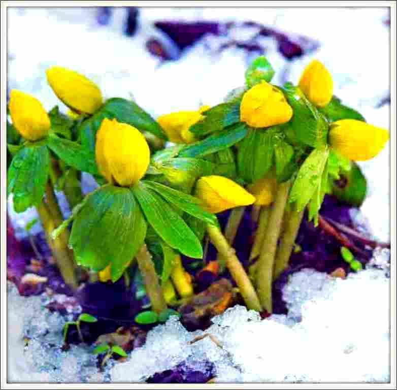 Fleurs d 39 hiver eranthis balades comtoises - Fleurs en hiver ...