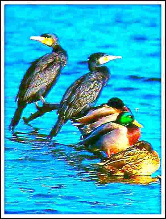 colverts et cormorans