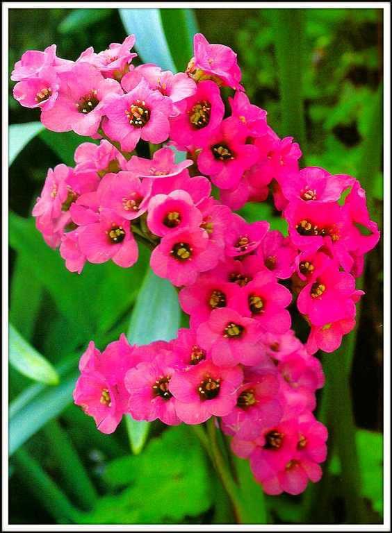 bergénia à grosses fleurs