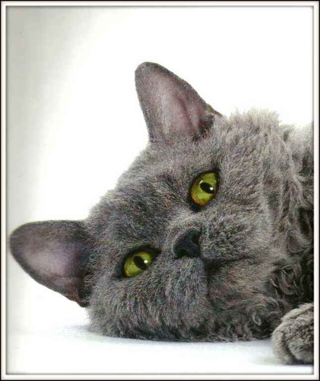 Chats - selkirk rex