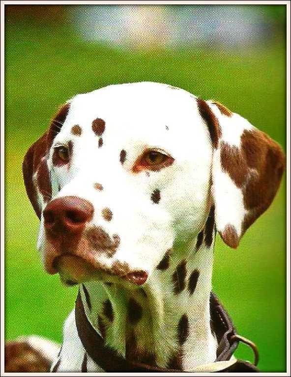 chien - dalmatien marron