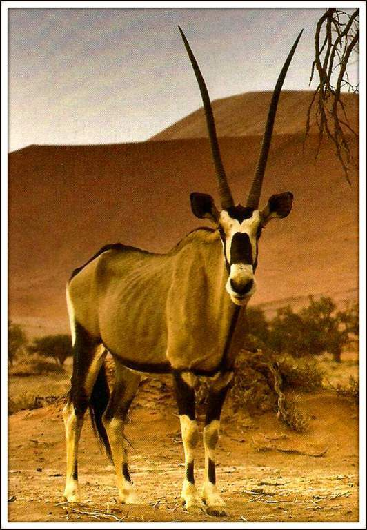 Animaux sauvages - oryx