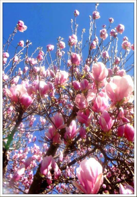 Printemps - Le magnolia