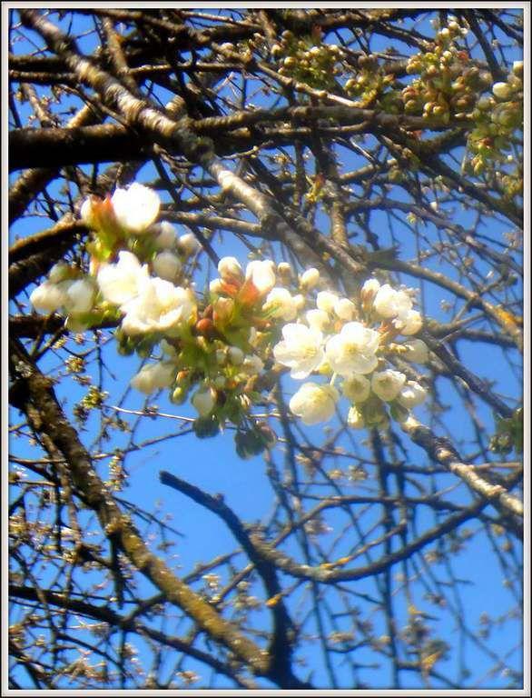 Vergers comtois - cerisiers en fleurs