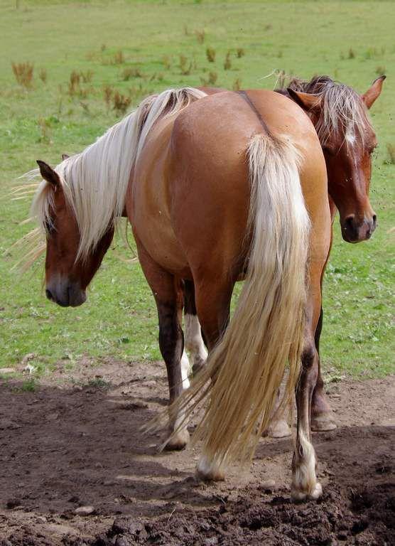 chevaux - Les Calmants - Jura