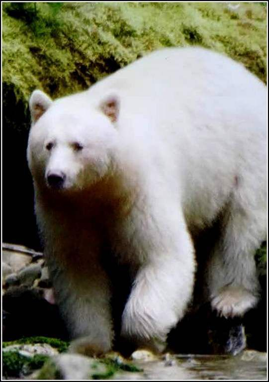 ours blanc - Canada