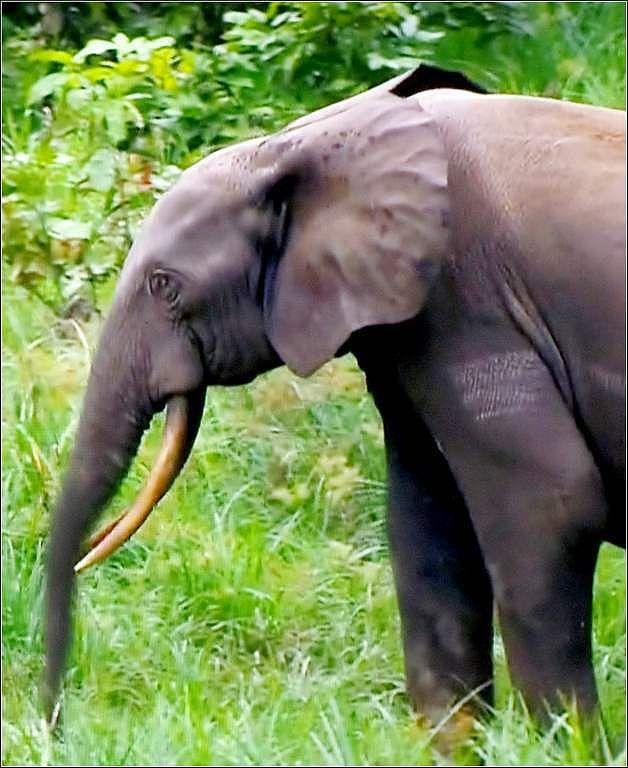 Animaux sauvages - éléphant