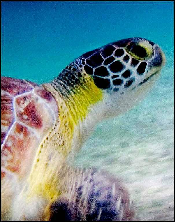 Animaux marins - tortue