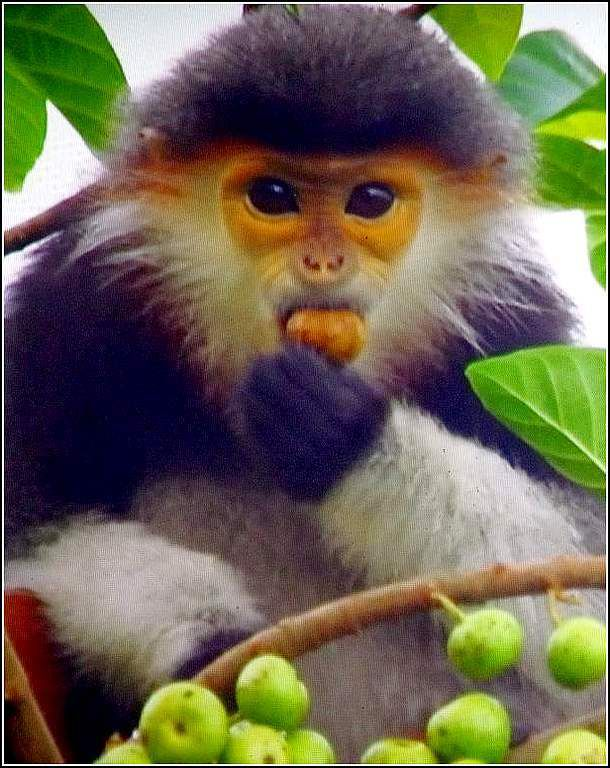 singe (douc Vietnam)