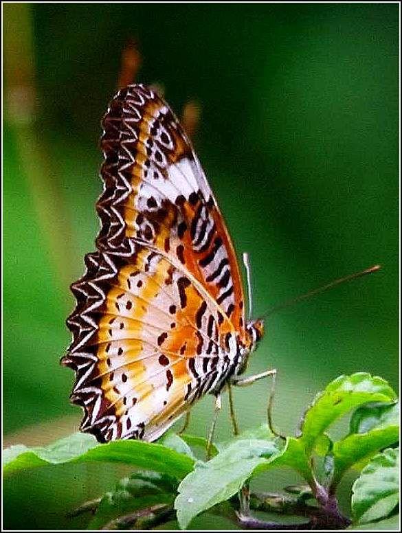 Papillons - Vietnam