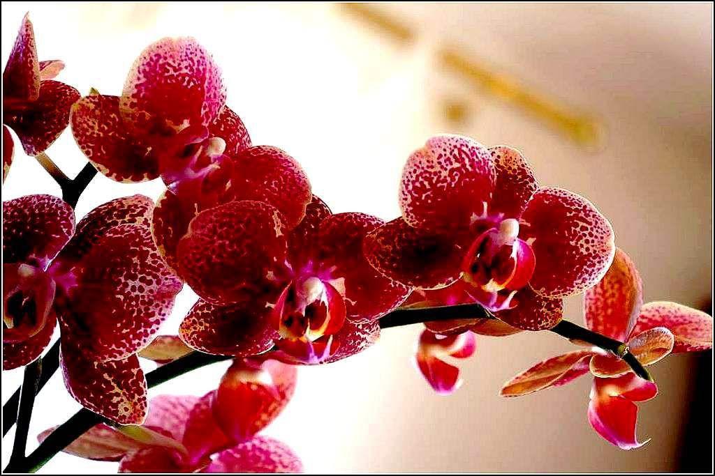 Fleurs - orchidée