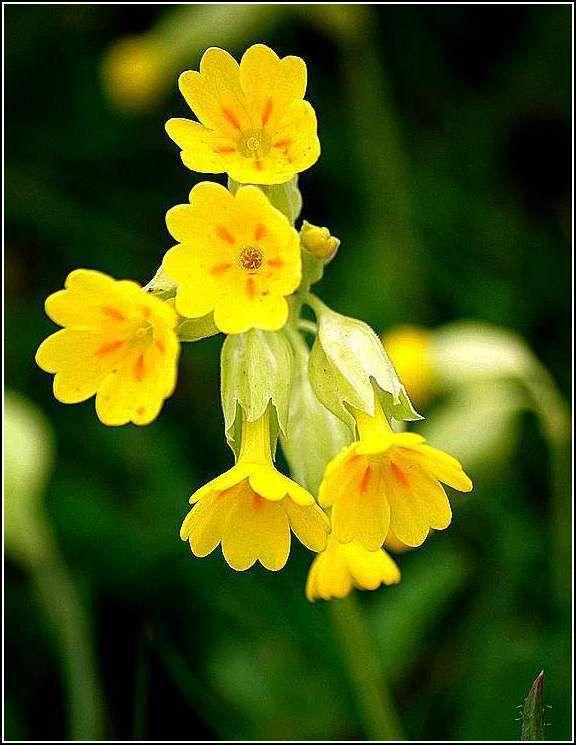 Les fleurs et citations - coucou ou primevère officinale