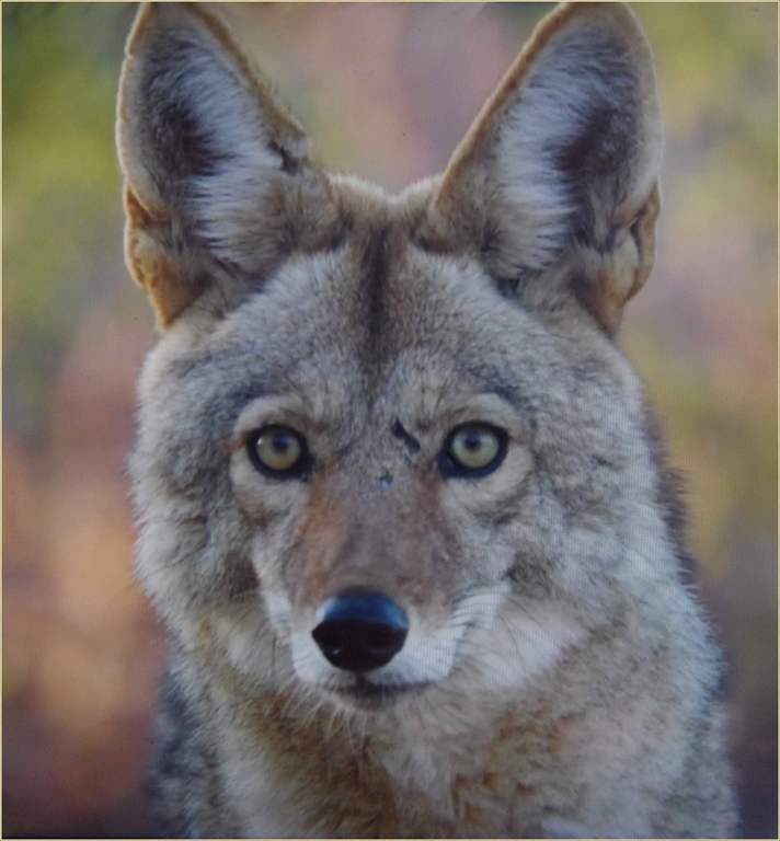 Animaux sauvages - coyote