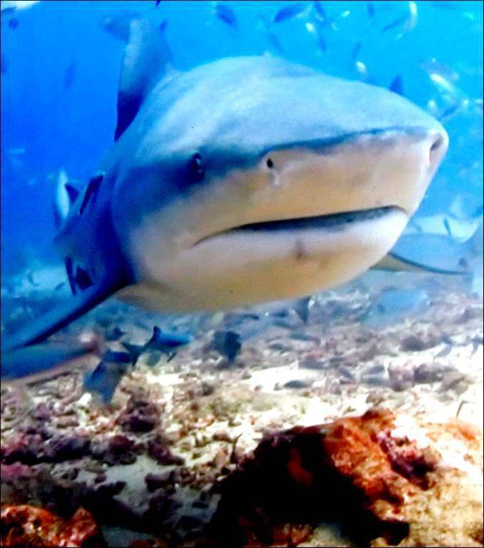 Animaux marins - requin