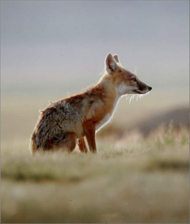 Animaux sauvages - renard nain