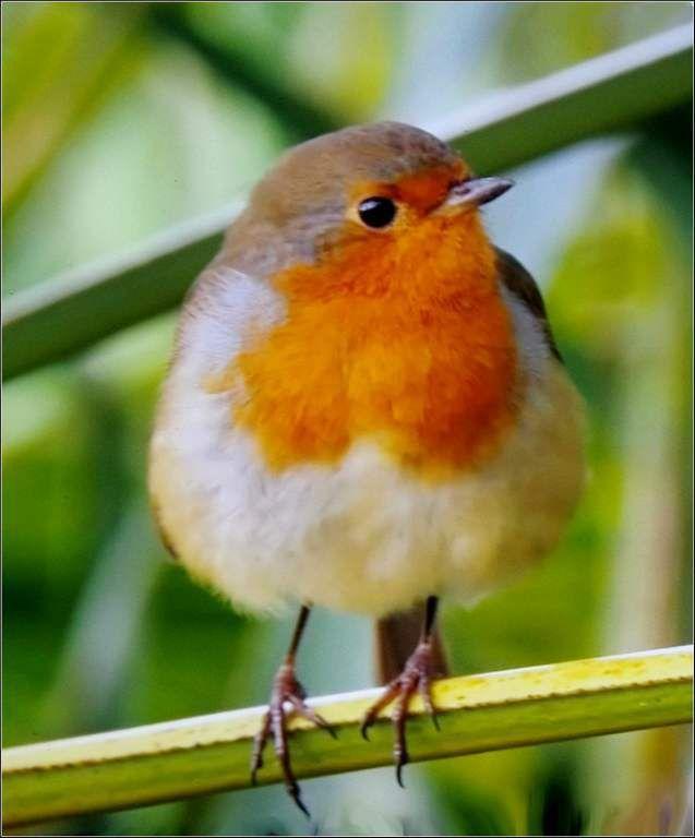 Oiseaux gorge rouge les oiseaux rouge gorge balades for Nichoir a rouge gorge