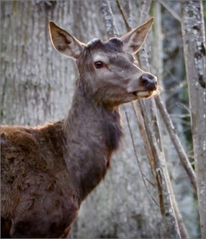 Animaux sauvages - cerf