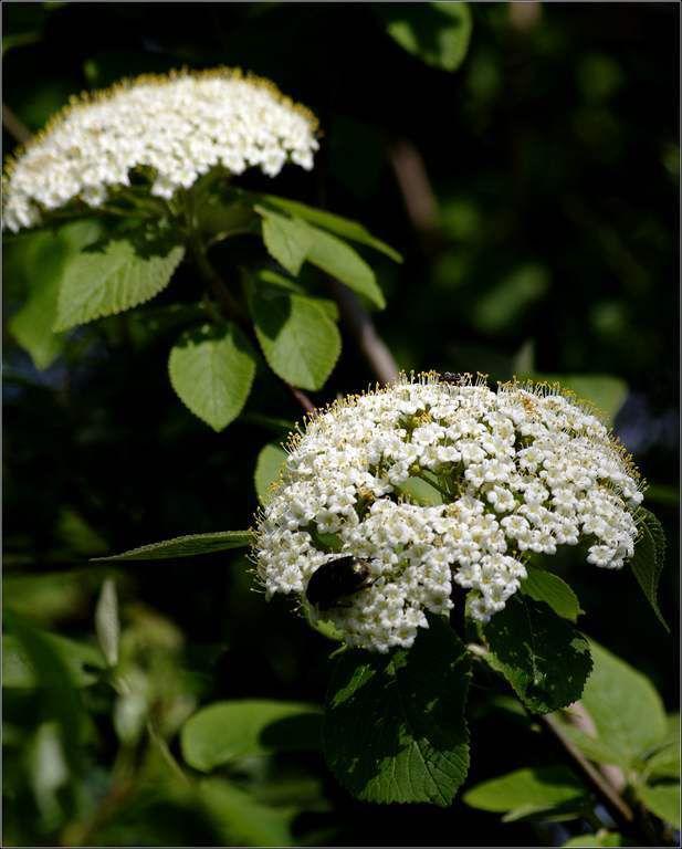 Fleurs et propriétés médicinales - sureau