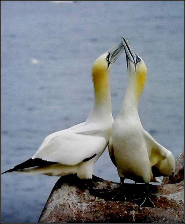 Les oiseaux - fou de bassan