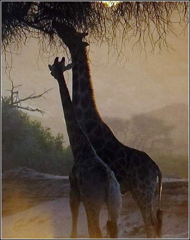 Animaux sauvages - girafes
