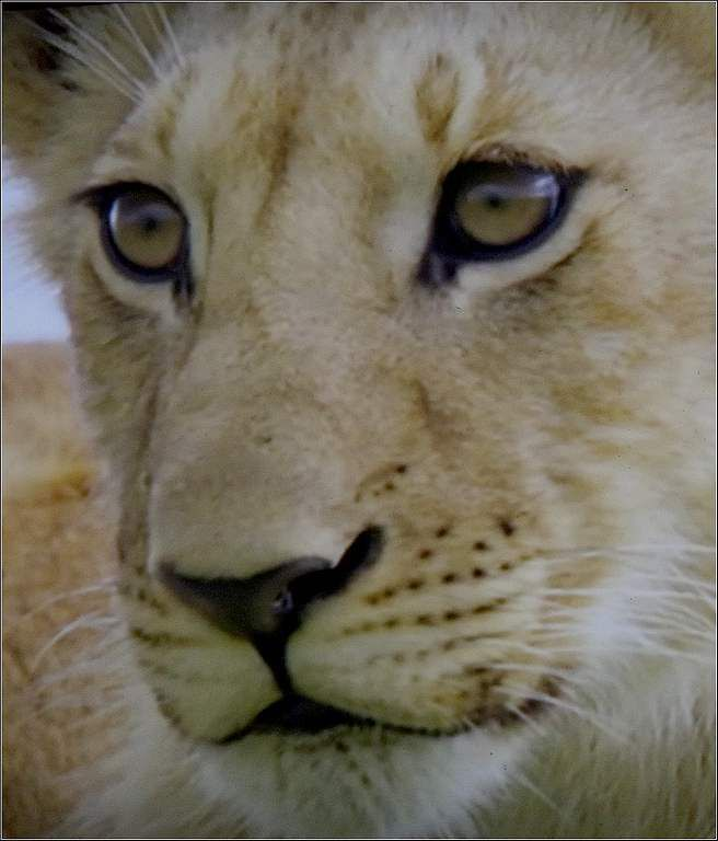 Animaux sauvages - lion