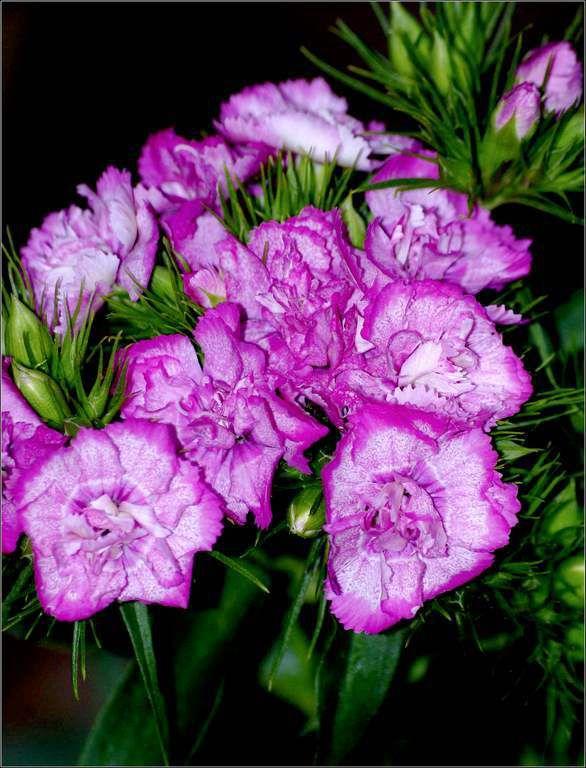 Les fleurs - oeillet de poète