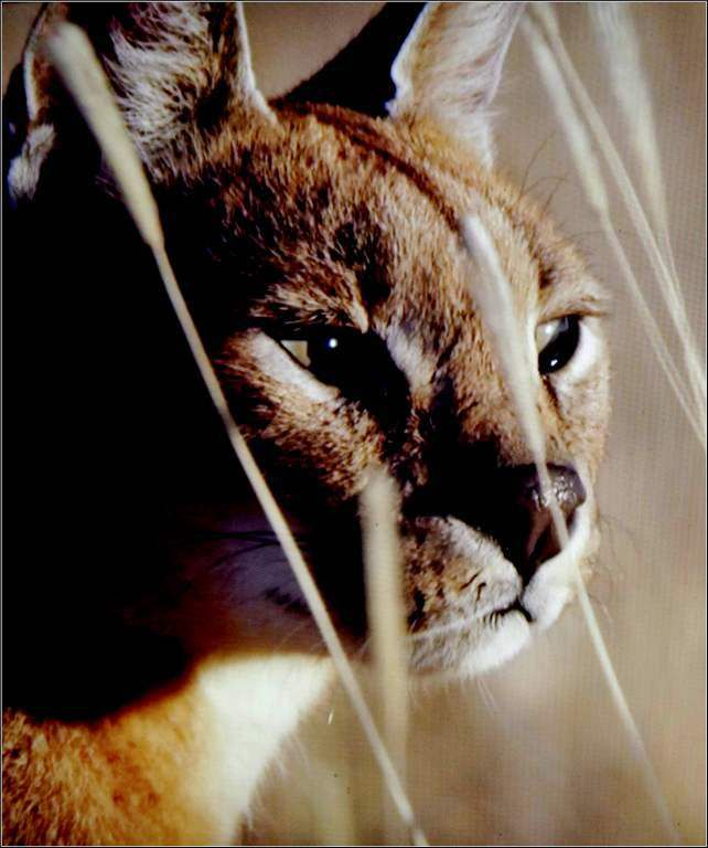 Animaux sauvages - caracal