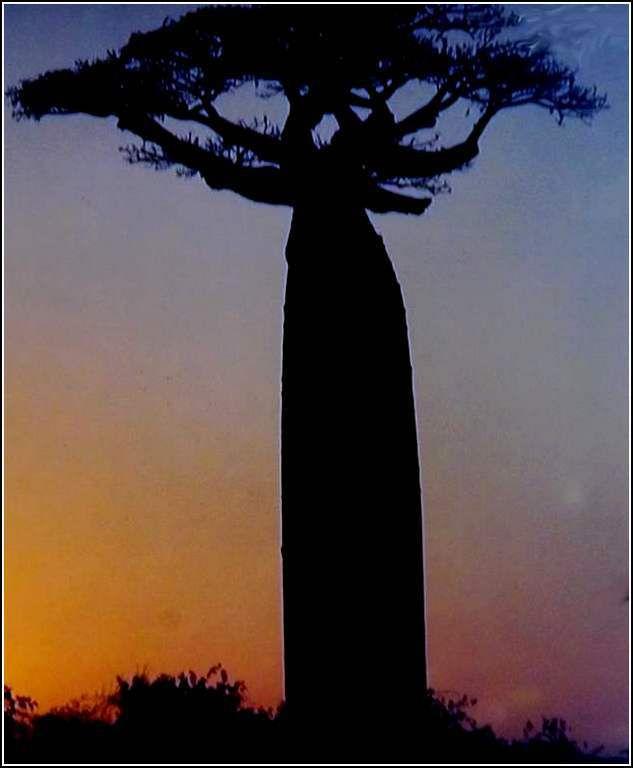 Madagascar - allée des baobabs
