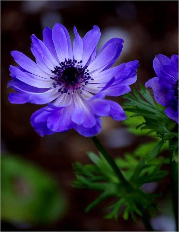 Les fleurs - anémone