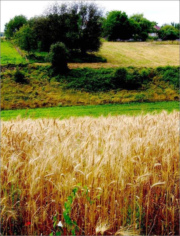 Nature - les blés
