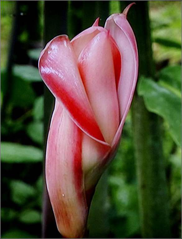 rose de porcelaine - Mayotte