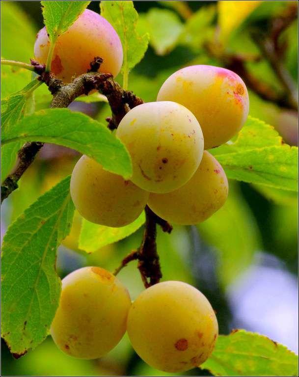 Les fruits - mirabelles