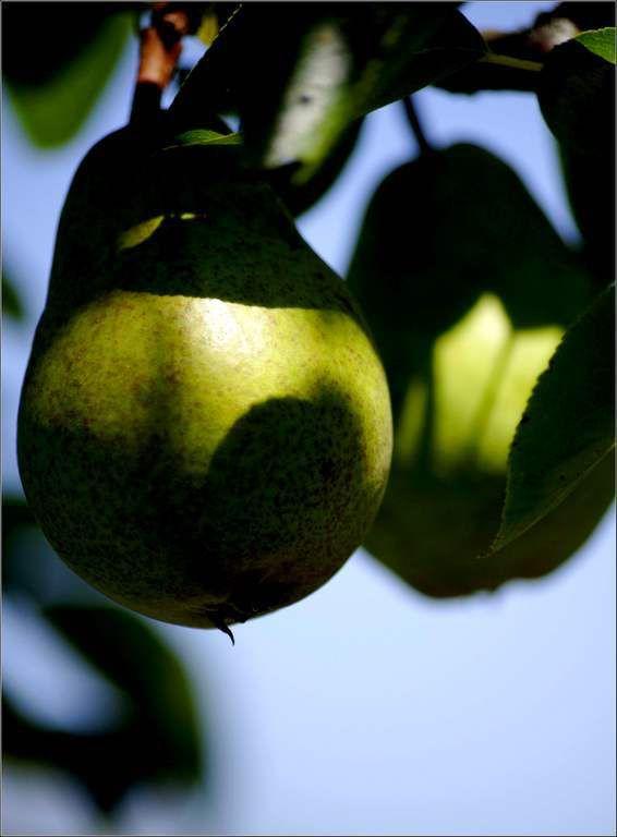 Les fruits - poires